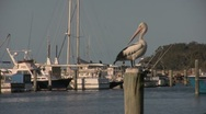 Stock Video Footage of Pelican Clean