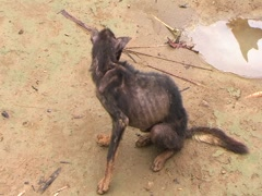 Starving Dog - stock footage