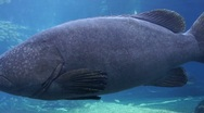 Large Aquarium Fish Stock Footage