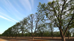 Pecan Trees Stock Footage