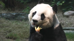 Panda Stock Footage