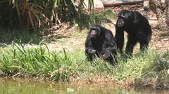 Stock Video Footage of Chimpanzee 30