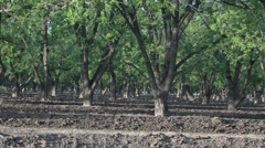 Pecan Nut Grove Stock Footage