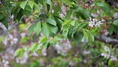 Budding Tree Blossoms - stock footage