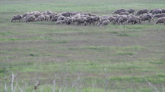 sheeps in pasture - stock footage