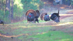 Wild Turkey Courtship Stock Footage