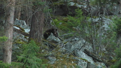 Black Bear Hiding behind Granite Boulder and Trees at Dusk Stock Footage
