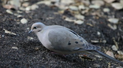 Mourning dove feeding on seeds Stock Footage