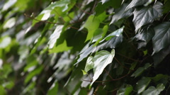 Wall of ivy Stock Footage