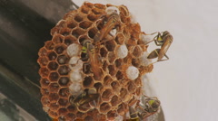 Wasps Feeding Larvae In Hive (HD) Stock Footage