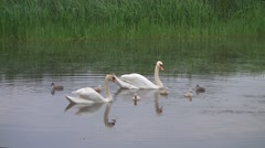 Swan family in pond Stock Footage