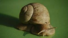 HD1080p25 Helix pomatia (Roman snail) Close Up Stock Footage