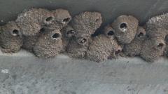 Urban Bird Mud Nests Stock Footage
