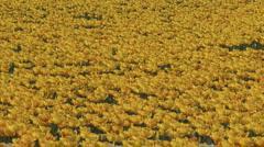 Bulbfields yellow tulips fullscreen Stock Footage