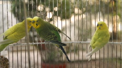 Australian Parakeets In Cage (HD) Stock Footage