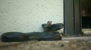 Angry Black Snake strikes Stock Footage