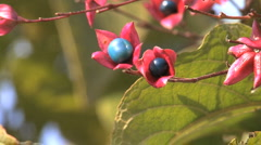 Italy Lombardy blue berries close up Stock Footage