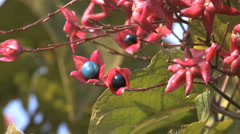 Italy Lombardy blue berries  Stock Footage