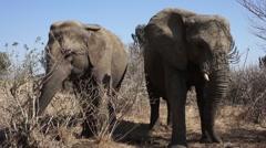 Elephants Graze - stock footage