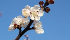 Bee on flowering apricot - stock footage