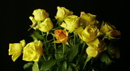 A bunch of yellow roses wilting in 10 seconds HD Stock Footage