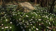 Anemone nemorosa flowers, panning - stock footage