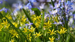 Scilla and Gagea flowers Stock Footage