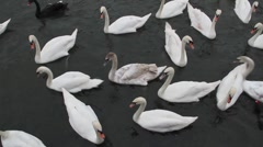 Black and White Swans overhead shot on River Thames Stock Footage