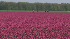 Bulbfield purple tulips people selecting Stock Footage