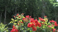 Tuscany red roses and woods Stock Footage