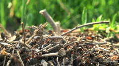 Stock Video Footage of Many ants using twigs to build an anthill
