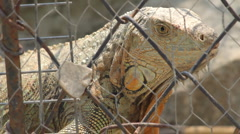 Caged Iguana (HD) - stock footage