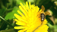 Working bee collecting pollen from a dandelion Stock Footage