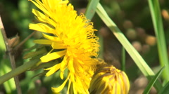Bee On A Flower Stock Footage