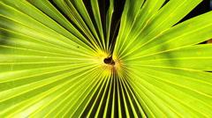 Zoom In Detail on Fan Shaped Palm Leaf - stock footage
