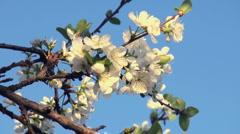 spring flower - stock footage