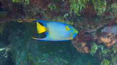 Queen angelfish swimming Stock Footage