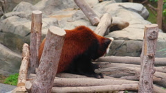 Firefox, or Red Panda in Zoo Stock Footage
