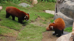 Playing Fifefoxes, or red pandas Stock Footage