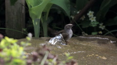 Wild bird bathing in garden water feature Stock Footage