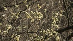 Salix Stock Footage
