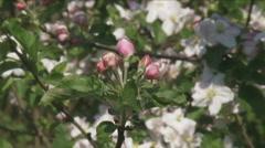 Betuwe apple tree blossom cu Stock Footage