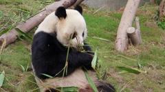 Panda - stock footage