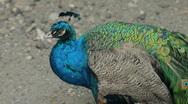 Peacock Male (HD) Stock Footage