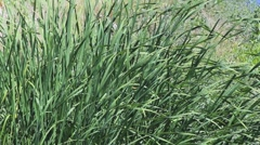 Grass Blades Stock Footage