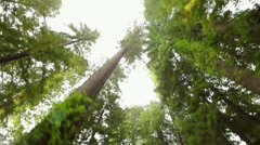 Looking up while driving through redwood forest Stock Footage