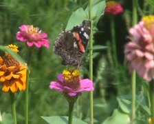 Butterfly gathers pollen Stock Footage