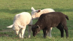 Black and white young sheeps in grassland Stock Footage