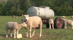 Sheeps in grassland Stock Footage