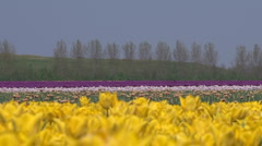 Yellow tulip cultivation in The Netherlands - stock footage